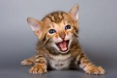Het katje van Bengalen Stock Foto's