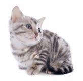 Het katje van Bengalen Stock Foto