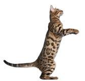 Het katje van Bengalen, 5 maanden oud Royalty-vrije Stock Foto's