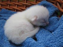 Het katje van de albino royalty-vrije stock afbeelding