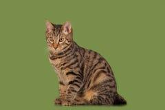 Het katje van de Bobtail van Kurilian Royalty-vrije Stock Afbeeldingen