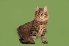 Het katje van de Bobtail van Kurilian Royalty-vrije Stock Foto