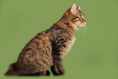 Het katje van de Bobtail van Kurilian Stock Foto