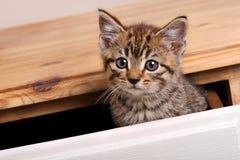 Het katje van de gestreepte kat Stock Afbeelding