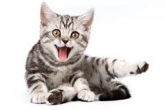Het katje van de gestreepte kat Stock Afbeeldingen