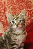 Het katje van de gestreepte kat Royalty-vrije Stock Afbeeldingen