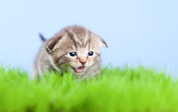 Het katje van de gestreepte kat het Schotse mauwen op gras royalty-vrije stock foto's