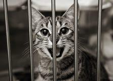 Het katje van de gestreepte kat in kooi het mauwen royalty-vrije stock fotografie