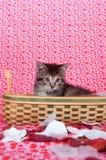 Het katje van de gestreepte kat in mand Stock Afbeeldingen