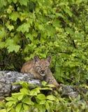 Het Katje van de lynx Stock Foto