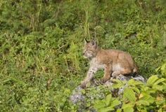 Het Katje van de lynx op een Rots Stock Afbeeldingen
