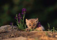 Het Katje van de lynx in Purpere Wildflowers Stock Afbeeldingen