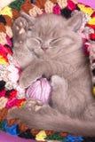 Het katje van de slaap Stock Fotografie