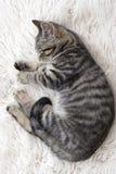 Het katje van de slaap Stock Foto's