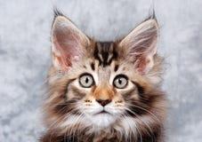 Het Katje van de Wasbeer van Maine Royalty-vrije Stock Afbeelding
