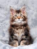 Het Katje van de Wasbeer van Maine Stock Foto