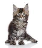 Het katje van de Wasbeer van Maine Royalty-vrije Stock Foto's