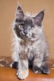 Het katje van de Wasbeer van Maine Stock Afbeelding