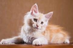 Het katje van de Wasbeer van Maine Stock Foto's