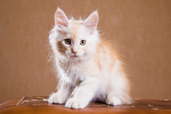 Het katje van de Wasbeer van Maine Stock Afbeeldingen