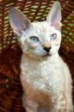 Het katje van het blauw-oog in mand royalty-vrije stock afbeelding