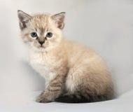 Het katje van het verbindingspunt met blauwe ogen die op grijs zitten Stock Fotografie
