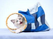 Het katje van Ragdoll binnen blauwe zak Stock Foto