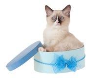 Het katje van Ragdoll in blauwe doos die op wit wordt geïsoleerdk Royalty-vrije Stock Foto's