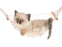 Het katje van Ragdoll in hangmat op witte achtergrond Stock Foto