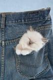 Het katje van Ragdoll van de slaap in zak van broek Stock Foto
