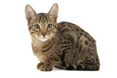 Het katje van Serengeti Stock Foto