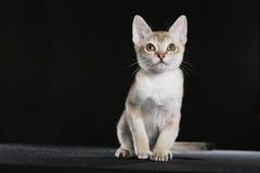 Het katje van Singapura royalty-vrije stock foto