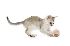 Het katje van Singapura met bal Stock Afbeelding