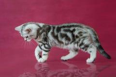 Het katje van Tabby British shorthair, de kat van Groot-Brittannië op de achtergrond van de kersenstudio met bezinning Royalty-vrije Stock Foto