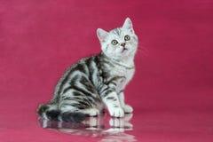 Het katje van Tabby British shorthair, de kat van Groot-Brittannië op de achtergrond van de kersenstudio met bezinning Stock Foto's