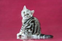Het katje van Tabby British shorthair, de kat van Groot-Brittannië op de achtergrond van de kersenstudio met bezinning Royalty-vrije Stock Afbeeldingen