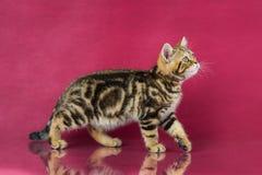 Het katje van Tabby British shorthair, de kat van Groot-Brittannië op de achtergrond van de kersenstudio met bezinning Stock Fotografie