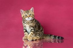 Het katje van Tabby British shorthair, de kat van Groot-Brittannië op de achtergrond van de kersenstudio met bezinning Royalty-vrije Stock Foto's