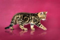 Het katje van Tabby British shorthair, de kat van Groot-Brittannië op de achtergrond van de kersenstudio met bezinning Stock Afbeeldingen