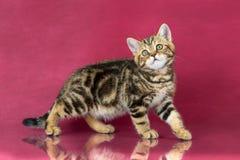 Het katje van Tabby British shorthair, de kat van Groot-Brittannië op de achtergrond van de kersenstudio met bezinning Royalty-vrije Stock Fotografie