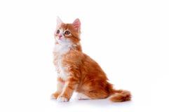 Het katje zit geïsoleerdr op wit Royalty-vrije Stock Afbeelding
