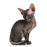Het katjes zwarte kleur van de sfinx die op wit wordt geïsoleerde Stock Foto's