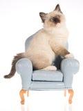 Het katjeszitting van Ragdoll op blauwe ministoel Stock Foto's