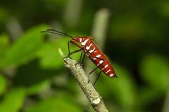 Het katoen stainer op takken wordt beschouwd als een belangrijk insect royalty-vrije stock foto