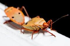 Het katoenen Insect van Stainer Stock Afbeelding
