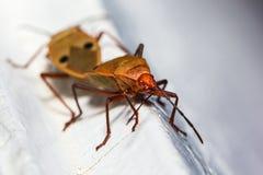 Het katoenen Insect van Stainer Stock Foto's