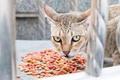 Het kattenoog kijkt vijandig en voedsel stock foto's