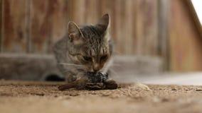 Het kattenroofdier ving een vogel en eet zijn prooi nave stock footage