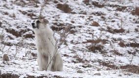 Het Kaukasische herder ontschorsen stock video