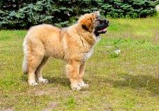 Het Kaukasische puppy van HerdersDog ziet eruit stock afbeeldingen